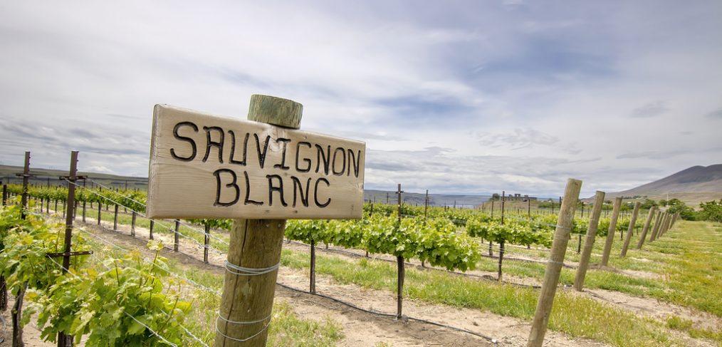 Sauvignon Blanc grapes being grown in a vineyard.