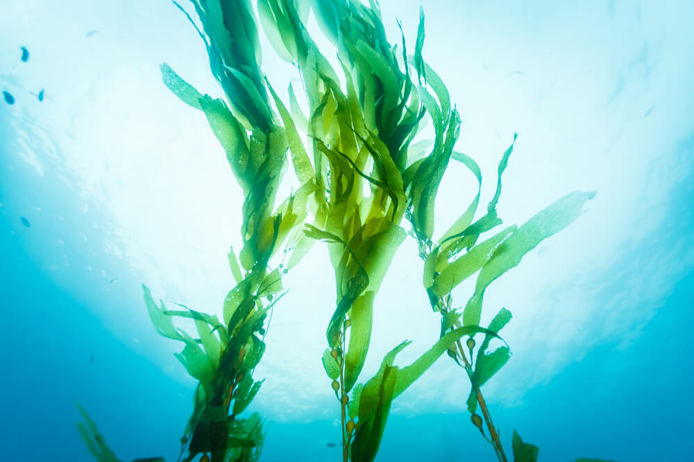 Marine algae floating freely in the ocean