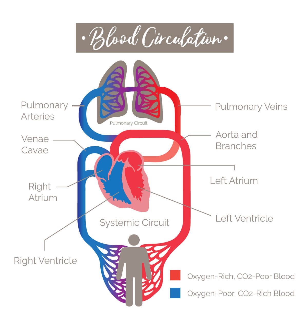 Infographic on blood circulation in the body